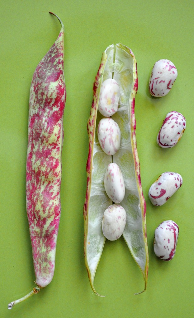 Cranberry beans pods and beans