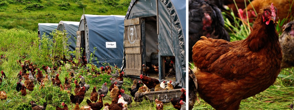 eggmobile and roosters